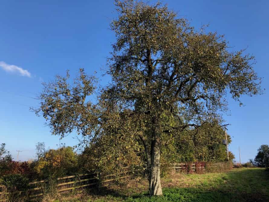 The mystery landmark pear tree at Abbey Gate.