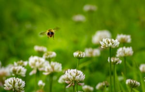Bumblebee hovering over clover, Yorkshire, UK