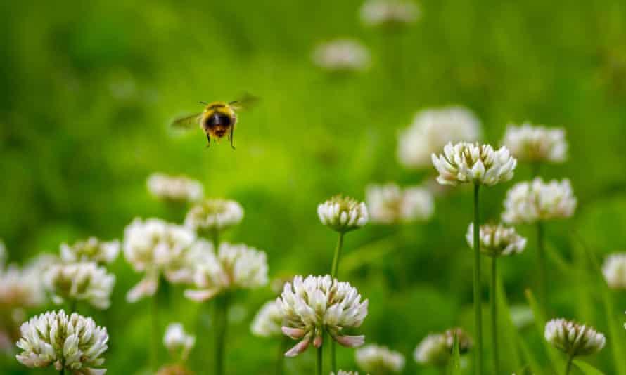 Early bumblebee (bombus pratorum) hovering over clover, Yorkshire, UKEarly bumblebee (bombus pratorum) hovering over clover, Yorkshire, UK, 21st June 2016