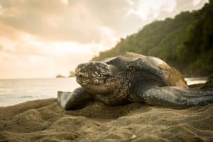 A leatherback sea turtle