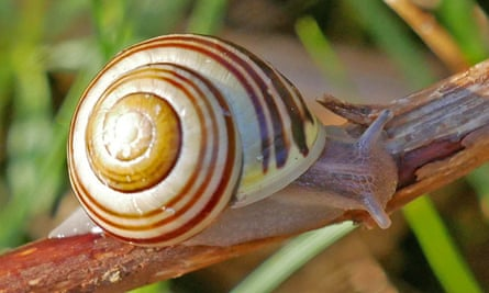 Brown-banded morphs of white-lipped snail offers some camouflage from predatory thrushes.