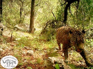 The only known wild jaguar in the US is captured on a remote sensor camera in the Santa Rita Mountains, Arizona