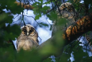 Owls in the forest near the village of Svisloch, Belarus