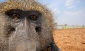 Monkey business ... Bakari the baboon.