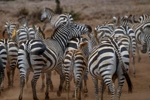 A herd of zebras walk along a dirt road in the Lewa Wildlife Conservancy's savanna in northern Kenya. The country has launched its first ever national wildlife census, covering both land and aquatic wildlife