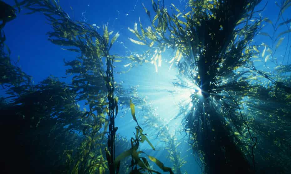 A kelp forest at Barrenjoey Island in Tasmania