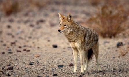 A coyote in California.