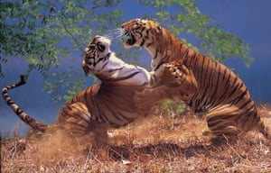 A stunning shot of two male Bengal tigers fighting in Ranthambhore national park