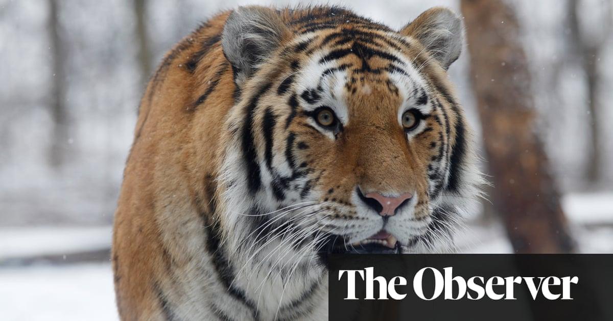 Siberian tigers poaching - photo#47