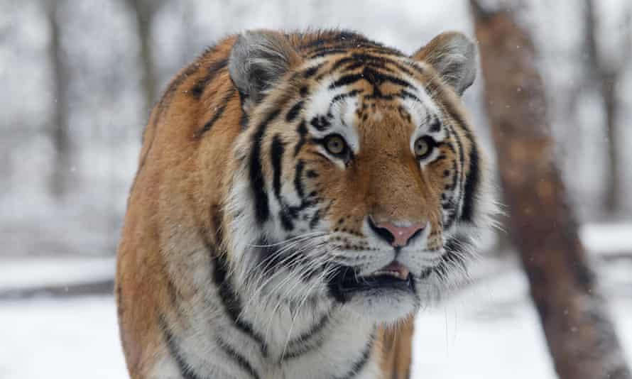 Amur, or Siberian, tiger numbers have grown from 20-30 in the 1930s to around 500 now.