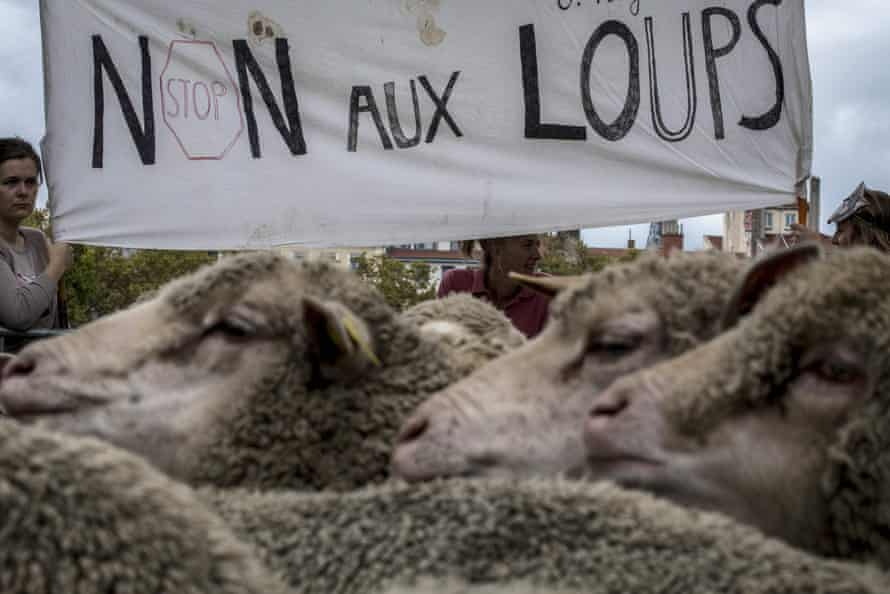 """French breeders hold a banner reading """"no to wolves"""" as they demonstrate in Lyon to draw attention to rising wolf attacks on sheep herds"""