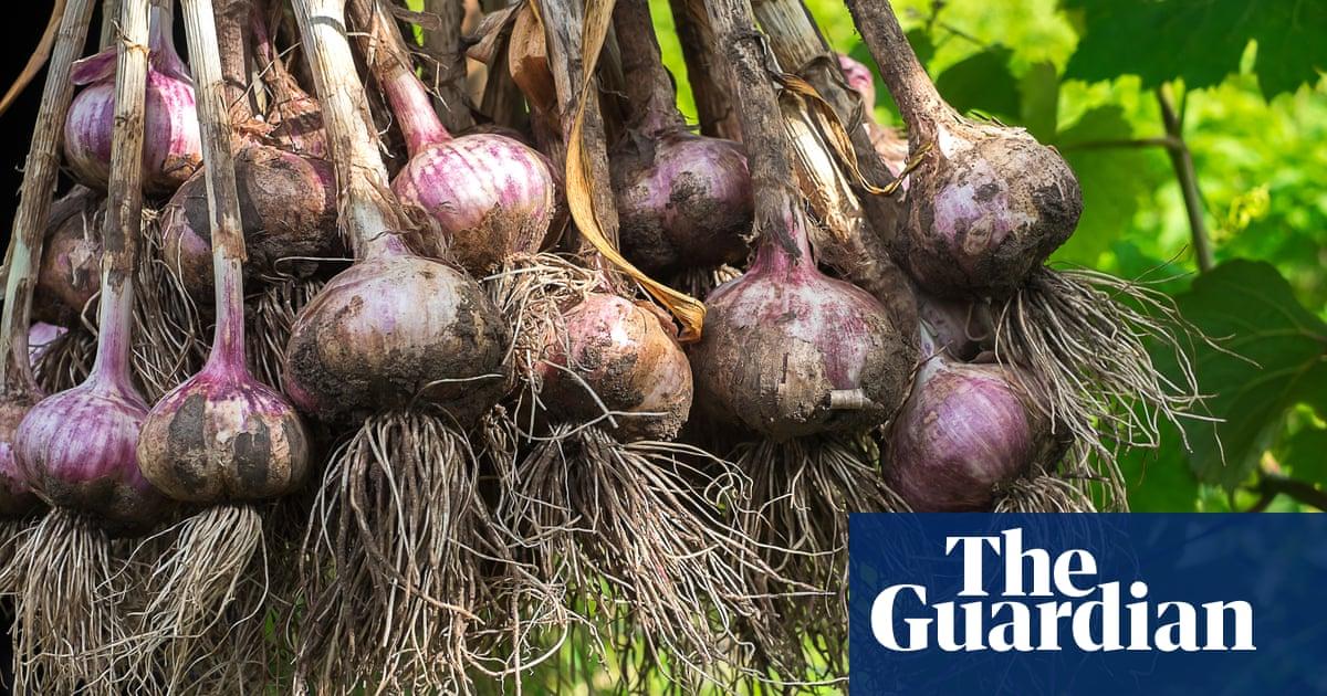 How to grow happy garlic
