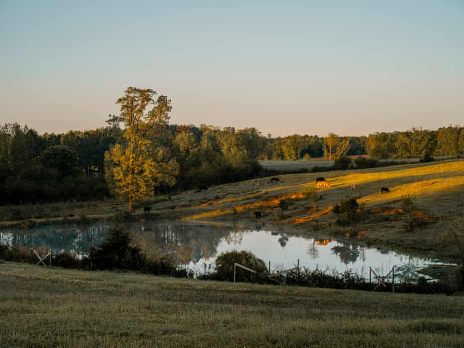 Cattle graze near the pond on John Boyd Jr's farm just after sunrise in Baskerville, Virginia.