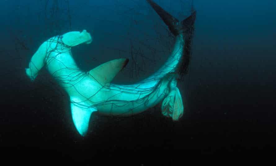 Hammerhead shark caught in driftnet