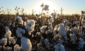 There are more Chinese buyers for Australian cotton after tariffs were placed on US produce