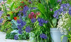 Canna 'Erebus' in galvanised dustbins alongside agapanthus 'Purple Cloud' and flowering seakale leaves.