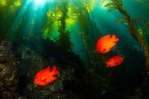 Garibaldi fish, California