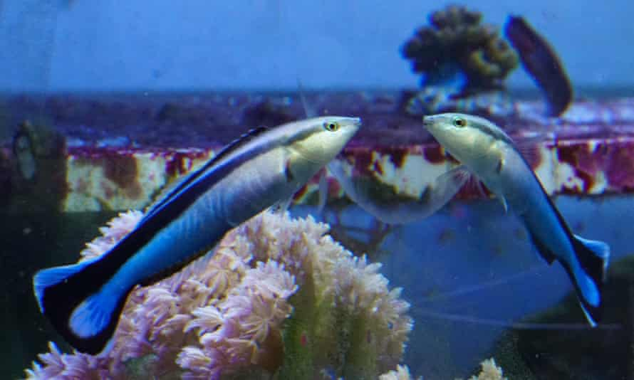 A cleaner wrasse.