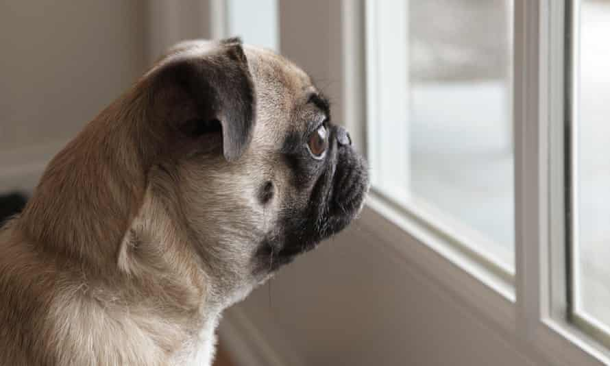 Pug dog looking out of the window