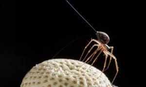 Ballooning spider tiptoeing on a dandelion seed head