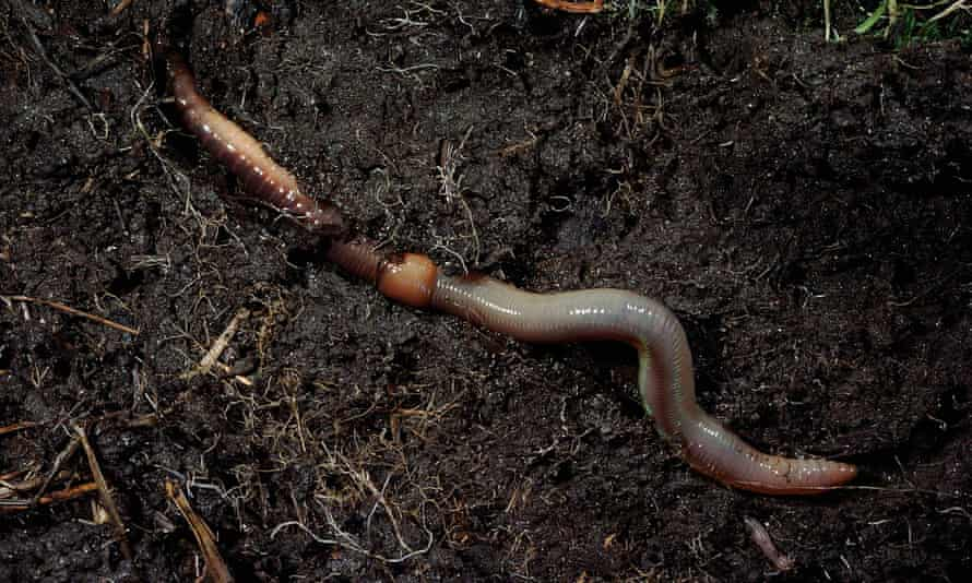 Earthworms break down organic matter as they feed and burrow, passing it on to other organisms.