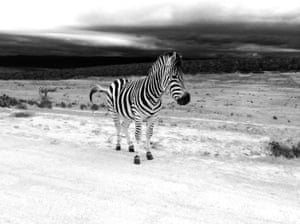 A zebra in Addo Elephant Park, South Africa.