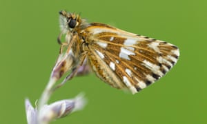 A grizzled skipper butterfly