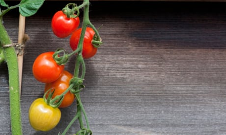 Cooking with tomatoes? Use the vine, too
