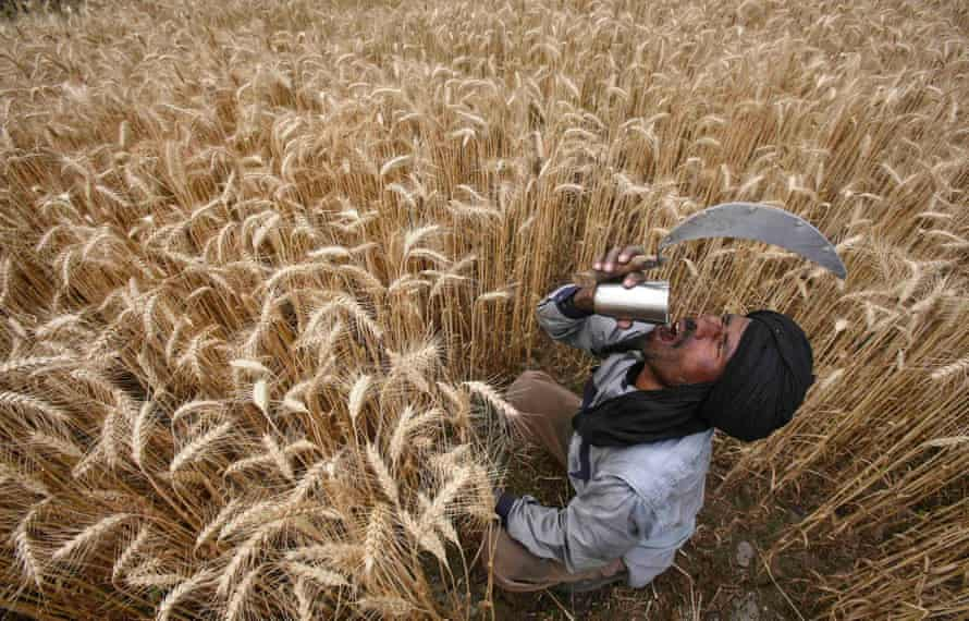 A labourer drinks water while harvesting wheat in a field in Jhanpur village, in Punjab state