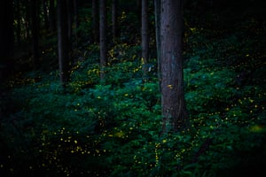 Natural world and wildlife finalistHimebotaru is a type of firefly that measures just 6mm long and lives in the forest. Both males and females emit a short burst of strong light – the males at a rate of once a second and females once every two or three seconds