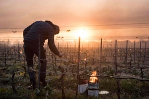 Le Landreau, FranceA man checks vine buds during the burning of anti-frost candles in the Luneau-Papin wine vineyard
