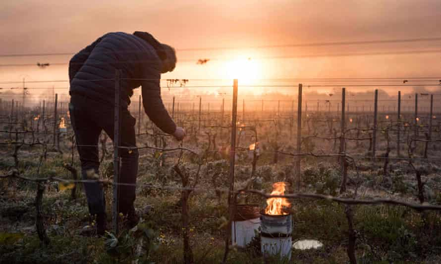 A man checks vine buds during the burning of anti-frost candles in the Luneau-Papin wine vineyard in Le Landreau, near Nantes, western France, in April