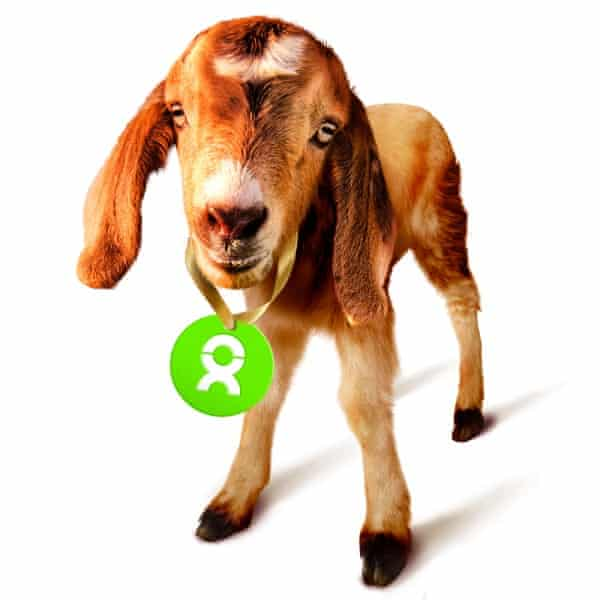 Goat with green Oxfam tag hanging from neck