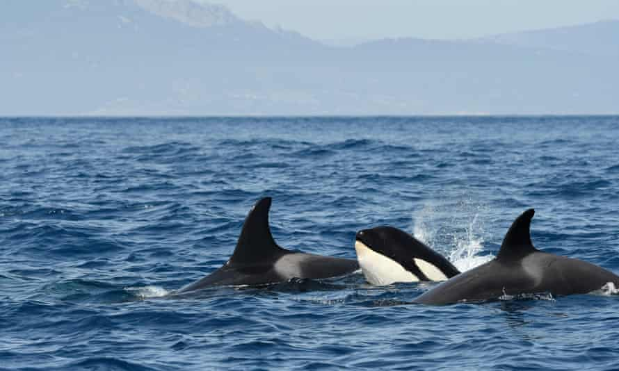 Orcas swimming in the strait of Gibraltar.