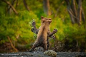 Kamchatka bear cubs in Kamchatka peninsula, Russia