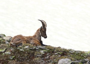 An ibex goat in Swiss Alps