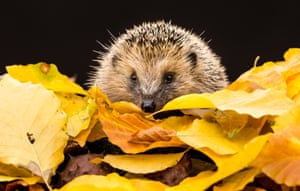 a hedgehog among the autumn leaves