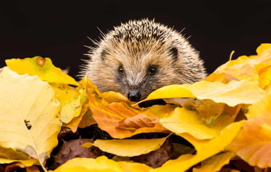 a hedgehog among the autumn leaves