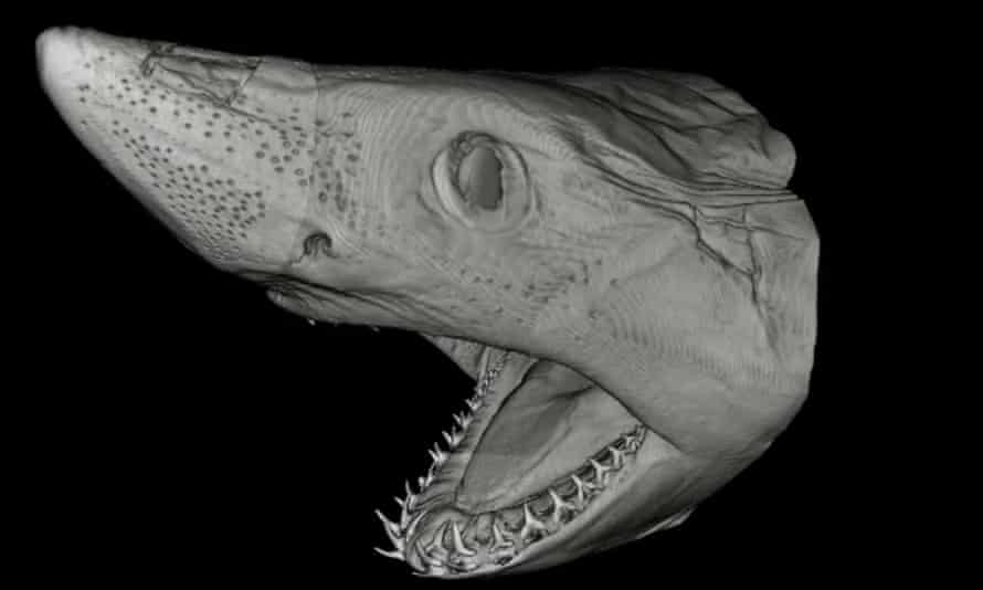 CT scan of a porbeagle shark, taken at the Natural History Museum
