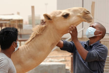 An Indian worker wears a mouth and nose mask as he touches a camel at his Saudi employer's farm outside Riyadh.