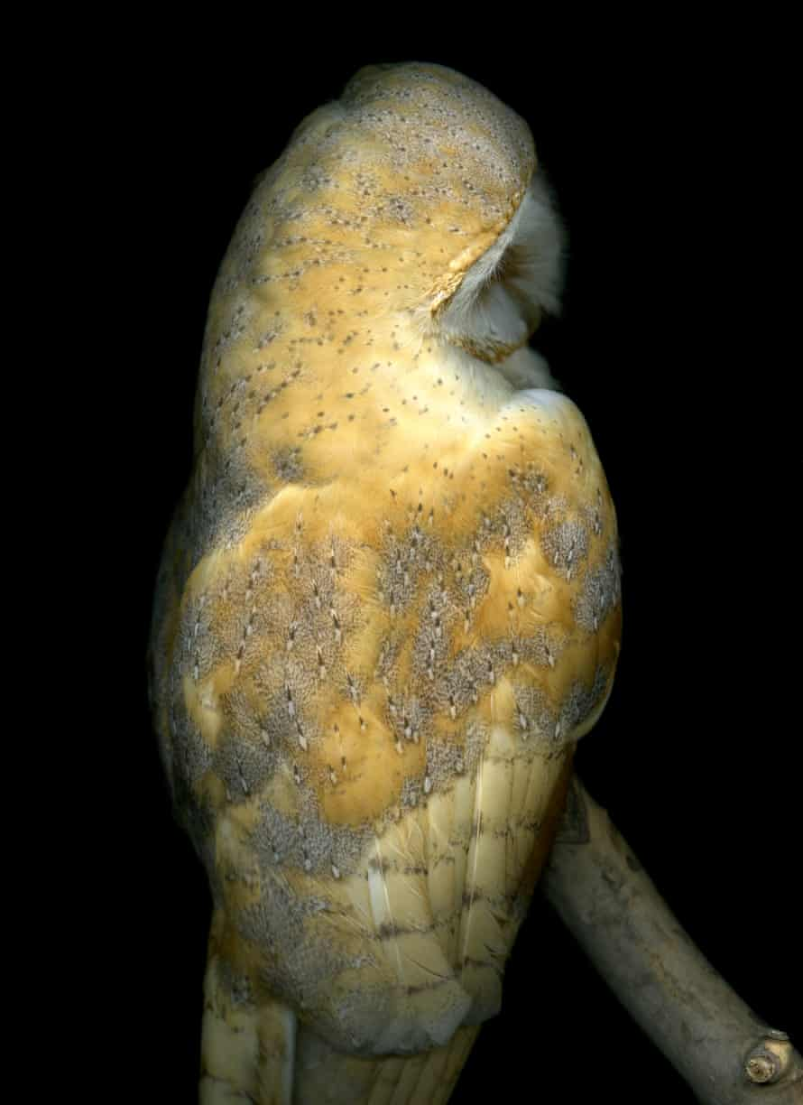 'I had to wear gloves' … the barn owl.