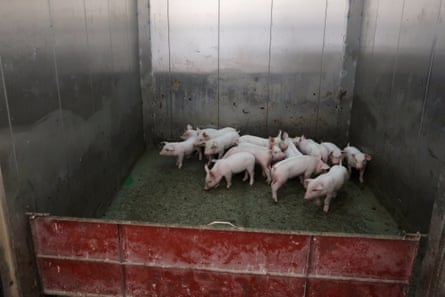 Young pigs inside an elevator