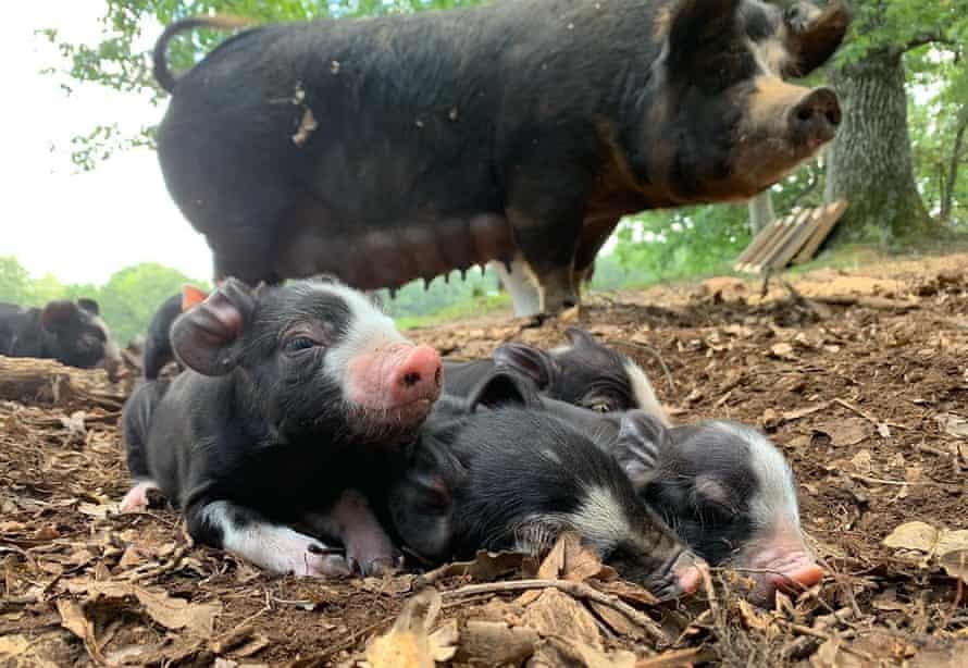 Pigs at pasture