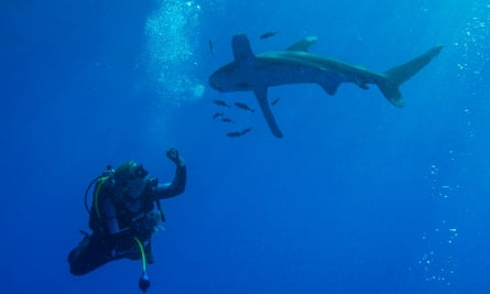 An oceanic checking out a diver.