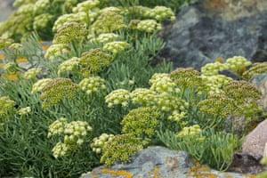 Rock samphire, Crithmum maritimum, in flower
