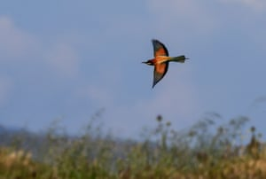 A bee-eater flying over the Gediz delta of Izmir, Turkey