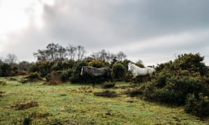 Wild horses walking through bushes into field, New Forest, United Kingdom