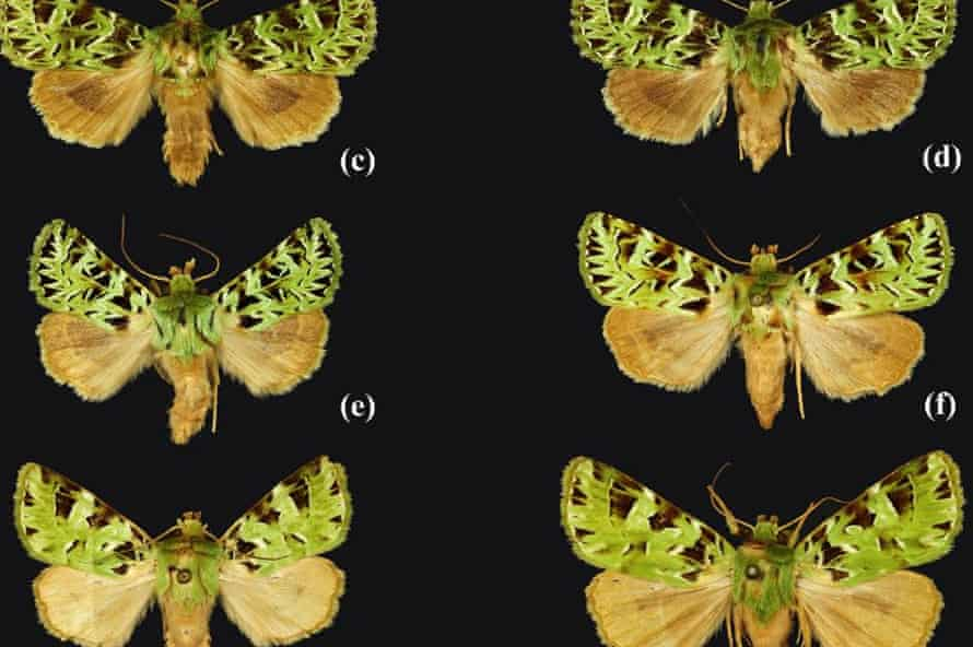 The beautifully patterned moth Pachythrix chlorophylla