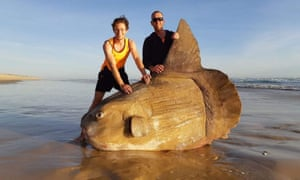 The giant sunfish that was found at the mouth of the Murray River, South Australia, over the weekend.