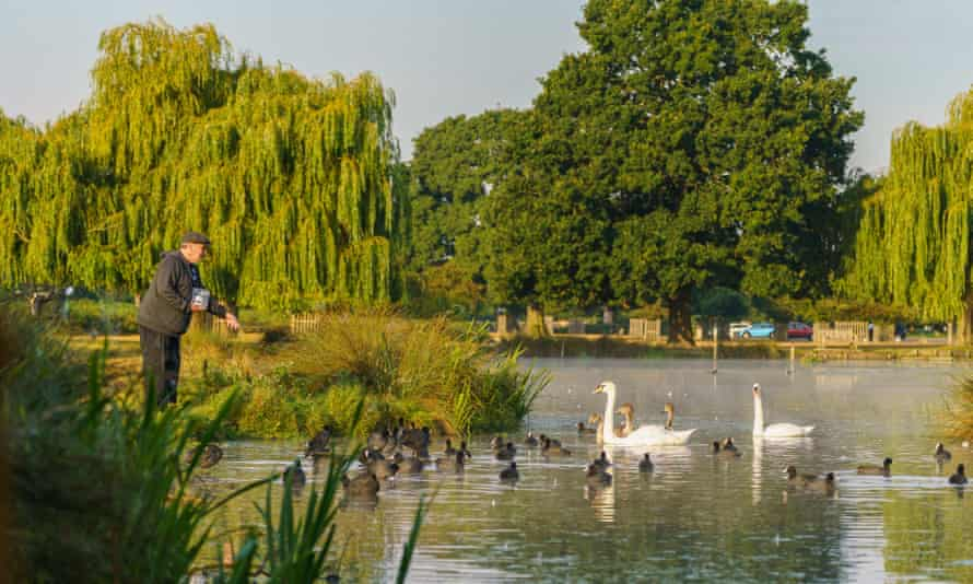 A Man feeding swans, coots and various other birds in Bushy Park